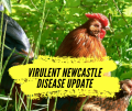 Virulent Newcastle Disease update