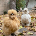 Customer pictures of some of Amber Waves Silkies